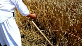 haymaking : Scythe competition ; cutting wheat in the traditional rural way,video clip