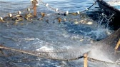 weterynaria : Carp in a fishing net ; fishing consumer carp in the pond,video clip