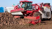 raiz de beterraba : Modern machinery for sugar beet ; Loading cleaned sugar beet  directly in the truck using modern agricultural machinery,video clip