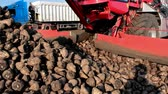 raiz de beterraba : Machinery for loading and processing of sugar beet ; Loading cleaned sugar beet  directly in the truck using modern agricultural machinery,video clip
