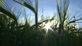 атрибут : Wind swaying ears of barley ; Ears of wheat swaying in the breeze in summer sunset,video clip Стоковые видеозаписи