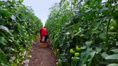 Production of vegetables in greenhouses ; Picking organic tomatoes produced in the greenhouse,video clip