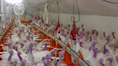 Farm for fattening turkeys ; Facility on the poultry farm specializing in breeding turkeys Vídeos