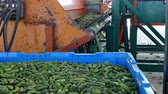 Cucumbers in the processing plant ; Production line for calibration and processing of young green cucumber used for pickling