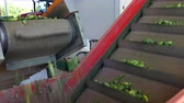 Raw cucumber processing plant ; Production line for calibration and processing of young green cucumber used for pickling