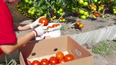 sorting : Tomato from the Plantation Ready for the Market  Worker in greenhouse sorted and packaged fresh-picked tomatoes