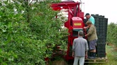 sacudidor : Zrenjanin  Serbia 06162018. Picking cherries on a plantation with modern machines Stock Footage