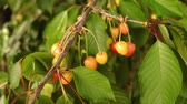 red cherries on a branch 動画素材