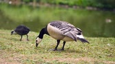 bosques : Wild geese in Sweden walk around in a meadow