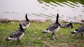 Wild geese in Sweden walk around in a meadow