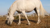 imagens : a white horse graze in a dry meadow