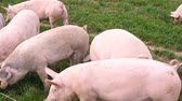 hog : free roaming pigs in a meadow