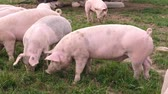 piglets : free roaming pigs in a meadow