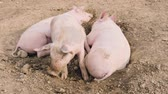hog : several pigs enjoy their large territory