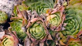 roseta : hardy succulents in a stone wall