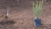balkon : planting a small rosemary plant Stock Footage