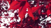 bosques : red leaves in autumn