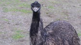 struś : an ostrich on the meadow Wideo