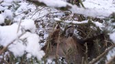 bosques : a shy deer in winter Stock Footage