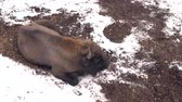 bosques : a tired bison in winter