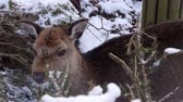 気高さ : a shy deer in winter eats some needles 動画素材