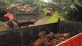Truck About To Unload Palm Oil Fruits