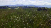 wildness : Mountain meadow plants fluttering on wind in a summer overcast, sliding video