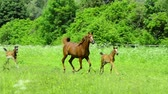 slowmotion : Asil Arabian horse mares and foals trotting and galloping on pasture