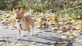 krátkosrstá : Chihuahua doggy stand on leash at ground with leaves in sunny autumn day