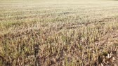 palouk : Field with stalks of short dry grass
