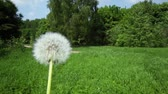 размыто : Dandelion at background of forest and road across grass field in motion Стоковые видеозаписи