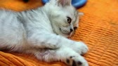cattish : Silver color british kitten lies on orange cloth, closeup view