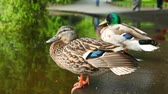 sideview : two ducks are sitting very close to  river in  park Stock Footage
