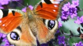 waving : focusing on black-orange butterfly waving wings and creeping on violet flower