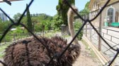 struś : ostrich emu prinking behind grid in open-air cage in zoo Wideo