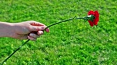 goździk : Kids hand hold red flower an ten put it away at background of grass Wideo