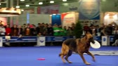 ловкость : MOSCOW - MARCH 26: Master throws frisbee and her dog of caucasian shepherd breed run, jump and catch it one by one at International Dog Show Eurasia 2011 on March 26, 2011 in Moscow, Russia