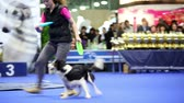 ловкость : MOSCOW - MARCH 26: Dog of border collie breed goes throught legs of its owner and run to catch frisbee at International Dog Show Eurasia 2011 on March 26, 2011 in Moscow, Russia