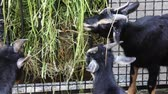 nourish : three black goat with white stripes eat grass at farm, close-up