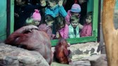 фехтование : MOSCOW - OCTOBER 10: Children watch on large female orangutan with baby sit in front of fencing glass in Moscow ZOO, on October 10, 2010 in Moscow, Russia.
