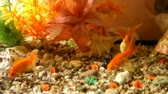 golden : Gold fish in aquarium