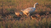 humorous : family of geese walking on the field