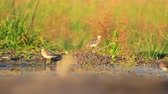 danube delta : sandpipers at sunset on the lake