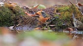 bird : wild singing birds drink water in the autumn forest Stock Footage