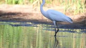 garça : great white heron walks through the water in search of food Vídeos