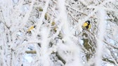 verme : yellow birds sitting on the branches of white frost Vídeos