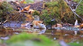ornitoloji : brambling bathing in puddles in the forest autumn day