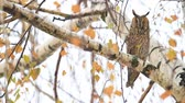 ушки : owl sits among colored birch leaves