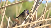 saturated : beautiful bird bluethroat sings a spring song Stock Footage