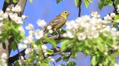 cantar : song bird among white pear flowers sings a spring song Stock Footage